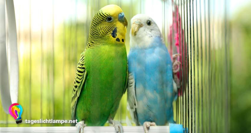 Zwei Wellensittiche in grün und blau im Käfig. Die Tageslichtlampe für Vögel ist wichtig für die Tiergesundheit.